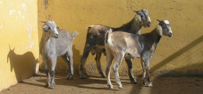 Cabras en Fuerteventura.
