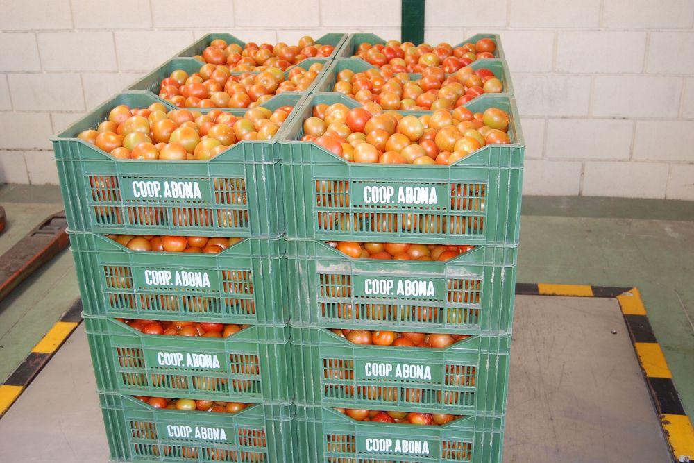 Ahora son los tomates canarios los que tienen que pasar controles para exportarse a Europa.