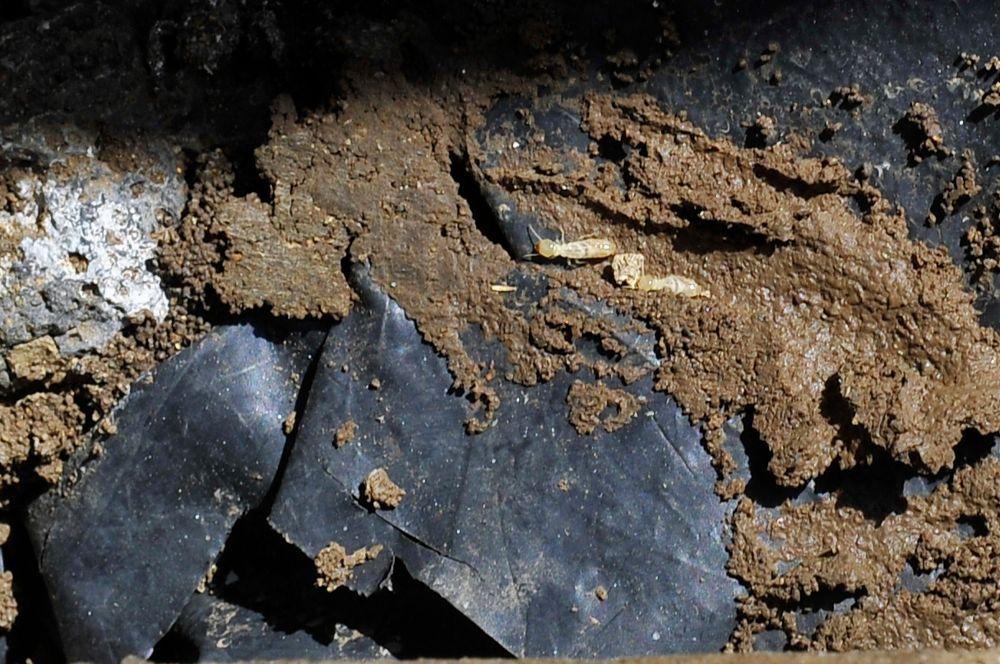 Las termitas desatan una guerra empresarial
